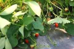 Erdbeeren_Foto_Waldhof_Schulte_Spechtel_002